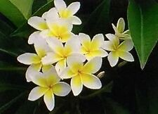 10ml Frangipani FRAGRANCE Oil