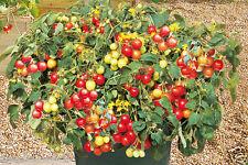 Tumbling Red Tomato 10 Organic Seeds