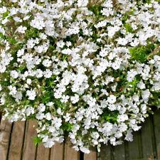 3 x Phlox douglasii 'Ice Mountain' Jumbo Plug Plants Hardy Herbaceous Perennial
