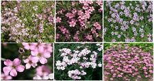 Baby's Breath Pretty n' Pink Colored Annual Flowers 50 Seeds