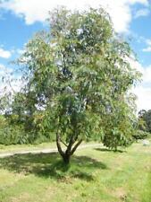 Cedar Wattle (Acacia elata) 30 Fresh seeds
