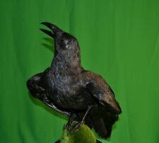 Real Stuffed raven Taxidermy Bird Mount #1