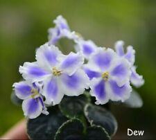 Rus / Ukr Variegated African Violet Yan-Sultan - Starter Plant