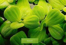 15x Dwarf Water Lettuce Aquarium Tropical Floating Plant / Pistia Stratiotes
