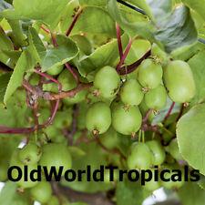 HARDY KIWI FRUIT Plant - Edible Fruit Vine Actinidia Arguta 'Issai' Self-Fertile