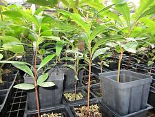 1 year old plant Potted Miracle Fruit Berry Tree Plant Synsepalum Dulcificum