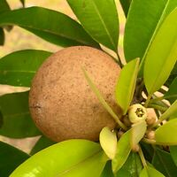 GRAFTED Tropical Fruit Tree SAPODILLA Live Tree Big tree 2-3 feets tall