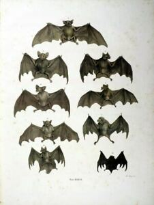 Set of 2 Antique Natural History 19th Century Bats Flying Mammals Prints Picture