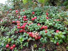 Mountain Cranberry (Vaccinium Vitis-idaea) 50 seeds