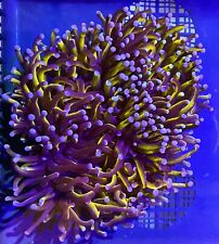 New listing Gold Torch Colony Mini Colony Live Coral Wysiwyg #3