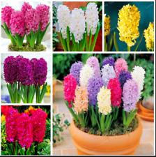 Hyacinth Plants Bonsai Not Bulbs Balcony Flowers Home Garden New R 50 Pcs Seeds