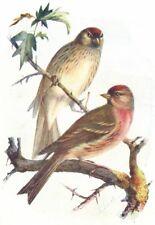 BIRDS. Redpoll. Redpolls(Male & Female)(7 8) 1901 old antique print picture