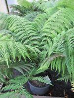 Tropischer Baumfarn - echter Baumfarn - Dicksonia antarctica - Besonderheit