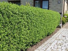 10 Wild Privet Hedging Ligustrum Plants Hedge 40-60cm,Quick Growing Evergreen