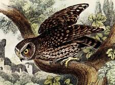1896 Little Owl Rare Antique Hand Coloured Bird Print