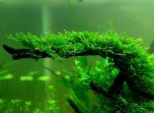 Christmas Moss Live Aquarium Xmas Plants Plant Tank Planted Golf Ball Size Port.