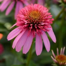Flower, Echinacea Purple Coneflower 200 Seed, Fragrant..Perennial.FREE SHIPPING