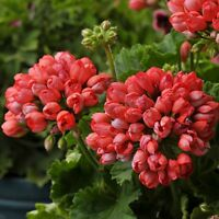 5PCS Rare Geranium Seeds Appleblossom Rosebud Pelargonium Perennial Flower Seed