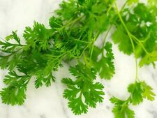 Cilantro Seeds | Non-Gmo | Fresh Garden Seeds Coriander parsley spices herb Usa