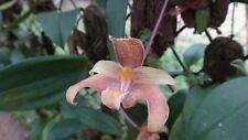 Bulbophyllum baantanense orchid plant Bloom Size Thailand Cites Phyto