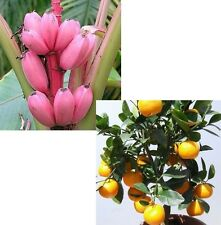 ORANGENBAUM und ROSA BANANE - leckeres gesundes Obst ständig selbst ernten !