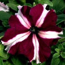 CRIMSON STAR PETUNIA, LARGE FLOWERS! Hanging Burgundy Red Tritunia 10 Seeds