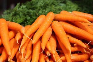 500 Seeds TYendersweet Carrot - Extra Sweet  -seed Pack