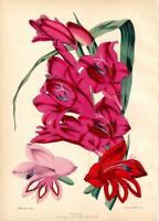 ''GLADIOLUS' ANTIQUE VINTAGE FLOWER PRINT.1852 Hand-Coloured Plate