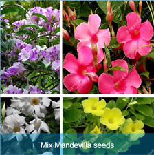 100Pcs Mandevilla Flower Seeds Ordinary 4 Kind Color Bonsai Plant For Garden