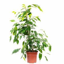 "Birkenfeige ""Forever"" - Ficus benjamini - Höhe ca. 75 cm, Topf-Ø 17 cm"