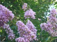 Muskogee Crape Myrtle Lagerstroemia indica  Established - 1 Plant - 1 Gallon Pot