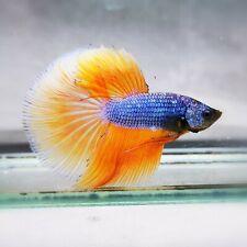 Live Betta Fish - Male - Fancy SunFLower Yellow Halfmoon (AMMAUG51) (High-Grade)
