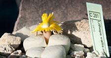 Lithops vallis-mariae C 281 20 seeds