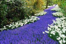 10 x Muscari Armeniacum, Grape Hyacinth bulbs, beautiful ornamental plants