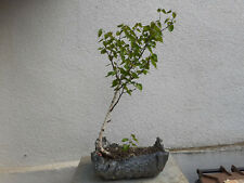Pre Bonsai Birke schöner Baum.Yamadori .Höhe ca 65 cm