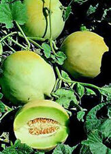 HONEY DEW MELLON , HONEY DEW GREEN SWEET,  HEIRLOOM, ORGANIC 25+ SEEDS,DELICIOUS