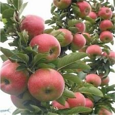 20pcs Red Apple Tree Seeds Garden Yard Fruit Plant Delicious Sweet Big Bonsai
