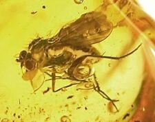 Baltic amber fossil great fly insect inclusion (376)