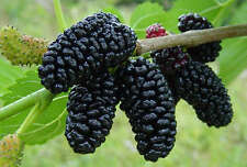 Mulberry dwarf black fruit tree plant 1x25cm tall Tree - Morus nigra- cutting