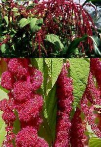 Red Amaranth Blume Deko für drinnen groß bildet Ableger Zimmerpflanze Samen Set