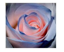 20 Blue and Pink Rose Plants flower seed rare Exotic Combination Flowers
