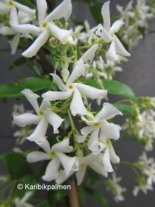 Trachelospermum jasminoides - duft Sternjasmin - Pflanze 30-50cm -  Frost  -15°C