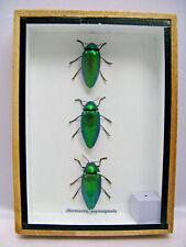 3 Sternocera aeguisignata - Echte exotische Insekten -  im Schaukasten aus Holz