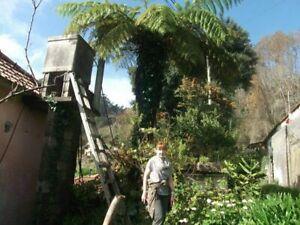 antarktischer Baumfarn winterharte schnellwüchsig Exoten Palmen für den Garten .