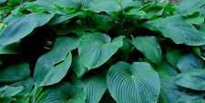 Big John Hosta Seeds! HUGE & BEAUTIFUL! COMB. S/H! SEE MY STORE FOR MORE HOSTA!