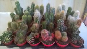 4 x Mixed Cactus In 8cm (HOUSE PLANTS)..