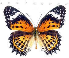 butterfly,Nymphalidae,CETHOSIA NIETNERI ssp.MAHARATTA male,Indien , No. 151