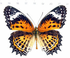 Butterfly, Nymphalidae, Cethosia nietneri ssp. maharatta male, la india, no. 151