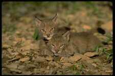 326042 Eurasian Lynx Young Kittens Playing A4 Photo Print