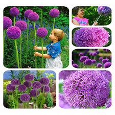 Neu 20 X Riesen Lila Blumen Zwiebel Samen Hingucker Pflanze Rarität Garten seeds
